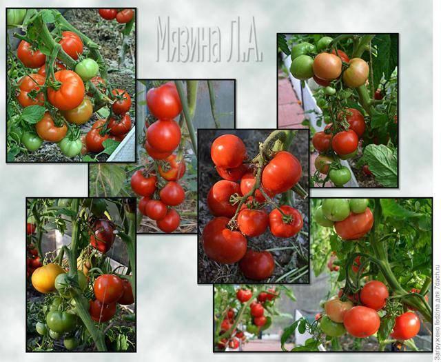 Томат классик f1: описание сорта, характеристика, рекомендации по выращиванию русский фермер