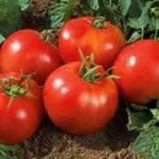 Почему садоводы так любят сорт перца «богатырь» и как его правильно вырастить