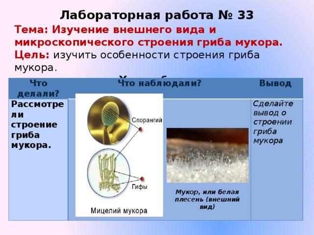 Как происходит размножение гриба мукора