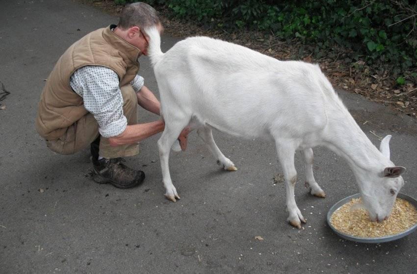 Как правильно раздоить козу после окота и сколько раз в день доить 2021
