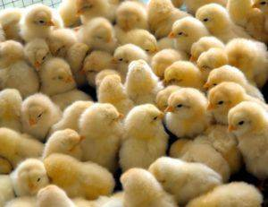 Выбор и выращивание цыплят в домашних условиях