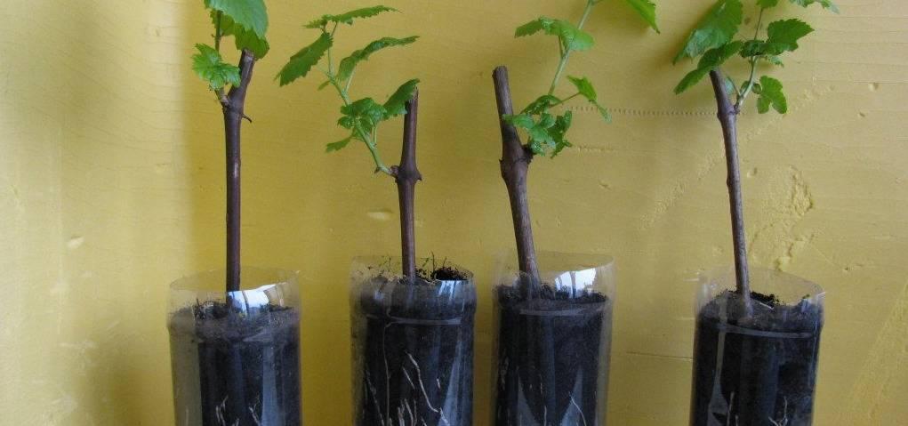 Проращивание черенков винограда весной в домашних условиях.