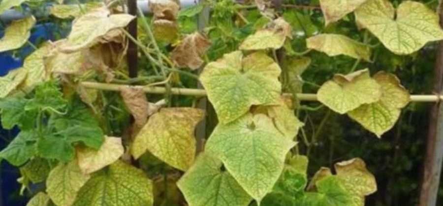Почему желтеют листья у огурцов в теплице и как с этим бороться фото видео