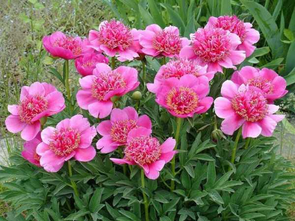 Садовый травянистый пион: фото, названия сортов, условия и особенности выращивания, уход за пионами