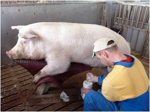 Все что нужно знать об искусственном осеменении свиней