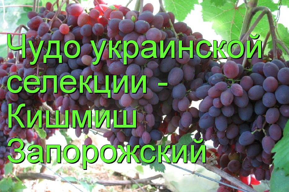 Чудо украинской селекции — виноград кишмиш запорожский