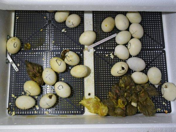 Процесс овоскопирования индюшиных яиц по дням