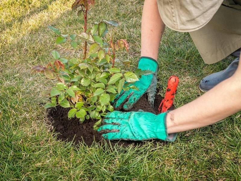 Уход за розами осенью и подготовка к зиме: обрезка, подкормка, укрытие кустов многолетника