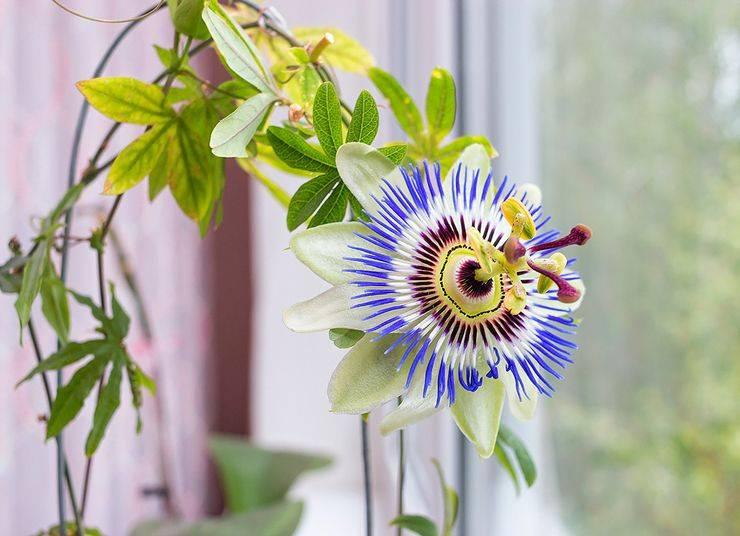 Цветок пассифлора: фото, описание, условия выращивания, уход в домашних условиях, размножение пассифлоры