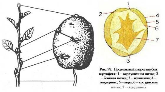 Тип плода у картофеля — selok.info