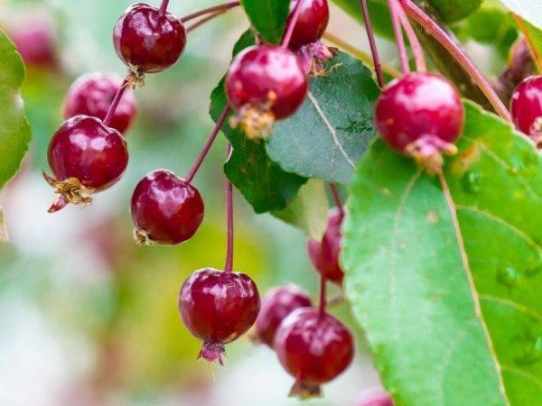 Популярная в россии яблоня китайка – описание и фото сортов, особенности выращивания