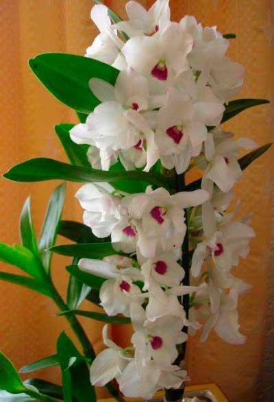 Очаровательная орхидея камбрия.