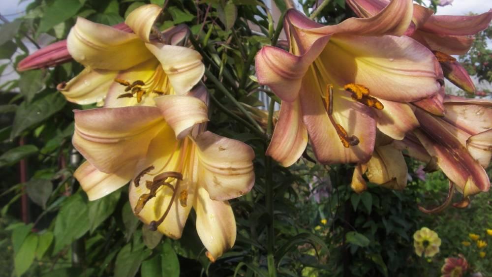 Особенности выращивания трубчатых лилий и описание их сортов