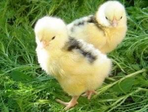 Расклев (каннибализм) у цыплят — симптомы и лечение