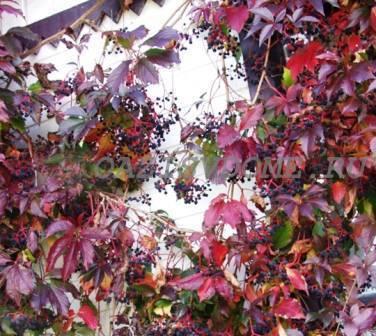 Технология посадки и размножения дикого (декоративного) винограда