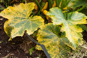 Причины, почему сохнут, вянут и желтеют кабачки в открытом грунте, на грядке и что делать