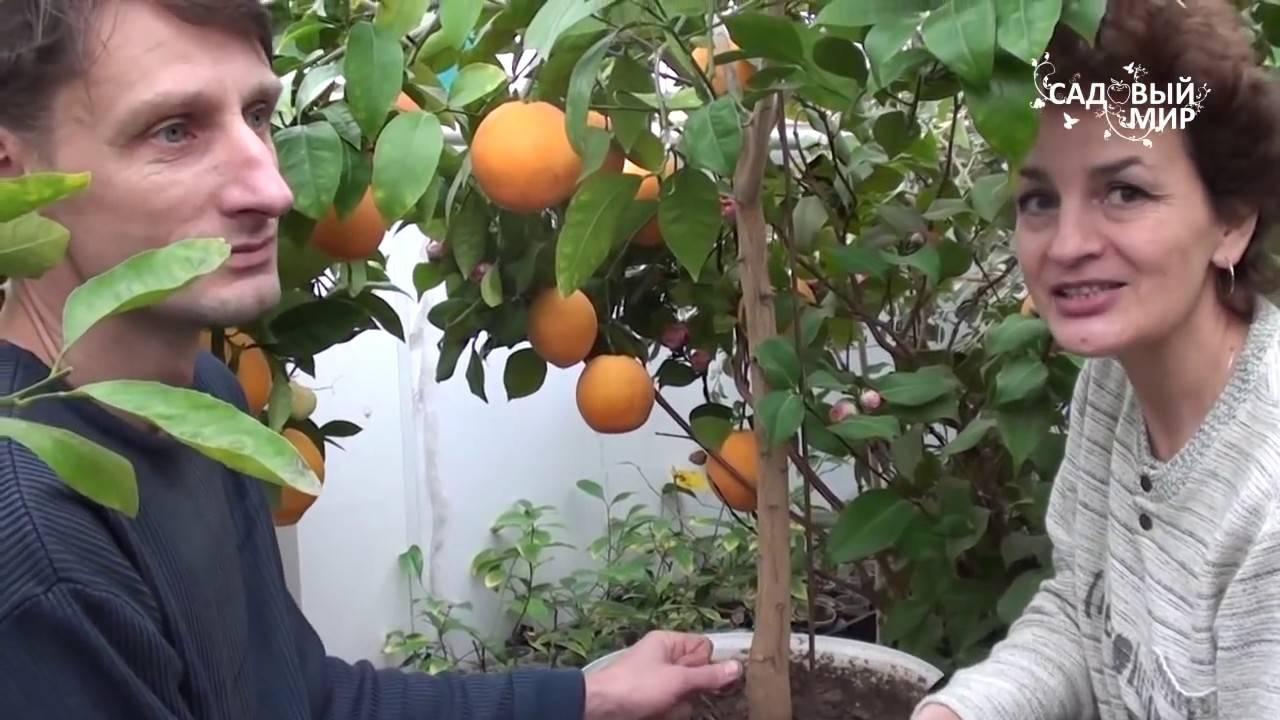 Апельсин вашингтон навел в домашних условиях: описание сорта, фото — selok.info