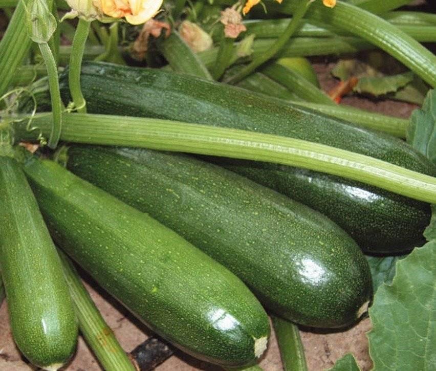 Кабачок цукеша: описание сорта, особенности выращивания и отзывы