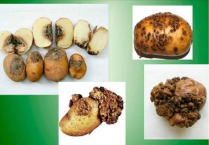 Рак картофеля: причины, симптомы, опасность для человека, меры борьбы, профилактика, фото