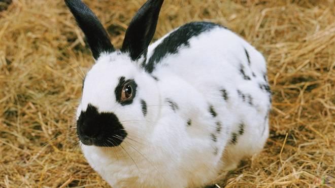 Колики породы немецкий ризен: описание, характеристика и особенности разведения кролика-великана