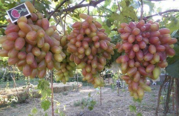 Выращиваем популярный скороспелый сорт винограда преображение