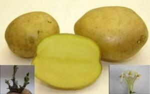 Картофель «метеор»: фото, описание сорта, посадка и уход