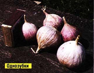 Правила посадки озимого чеснока для отличного урожая: когда, куда, как?