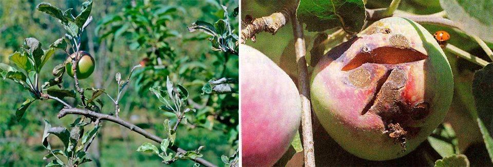 Мучнистая роса на яблоне - причины возникновения и методы борьбы