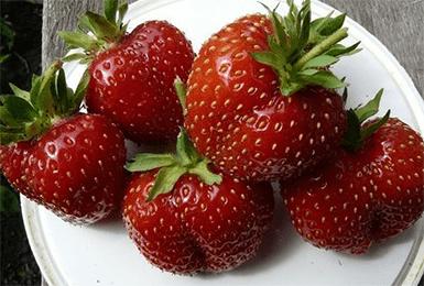Сорт клубники «Сельва — описание, фото, особенности выращивания