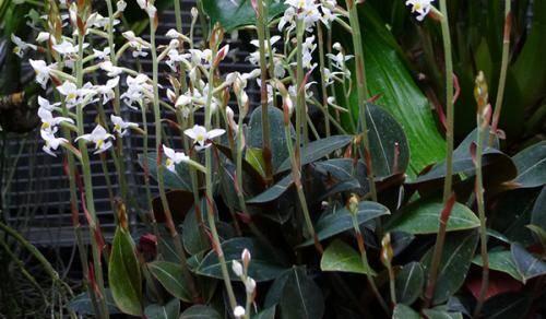 Орхидея лудизия: почему гемарию называют драгоценной, каким образом осуществлять уход за цветком в домашних условиях, как выглядят на фото сорта растения? selo.guru — интернет портал о сельском хозяйстве