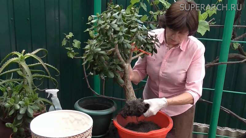 Как пересаживать денежное дерево в домашних условиях - когда правильно пересадить в другой горшок