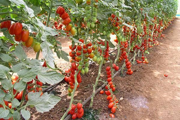 Как правильно пасынковать томаты в теплице и открытом грунте