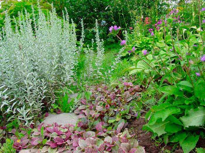 Посеребрим сад? какой сорт полыни сможет украсить ваш участок | сад | дача