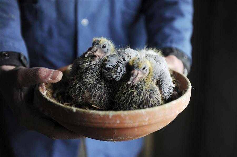 """Чем кормить птенца голубя в домашних условиях - """"vexsi"""" интересный журнал - обо всём!"""