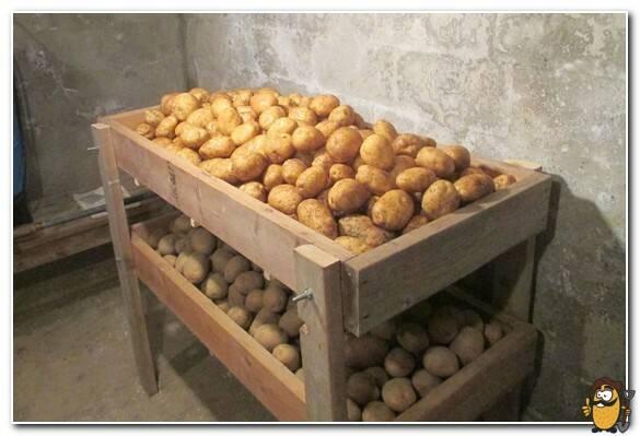 Картофель зекура: описание и характеристика