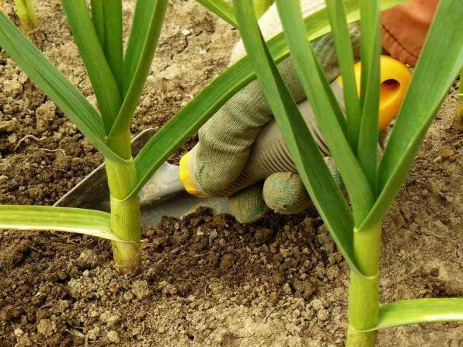 Почему у чеснока желтеют кончики листьев