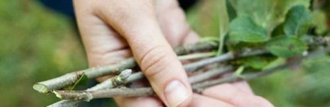 Все о размножении груш из веток: зеленое черенкование, воздушные отводки