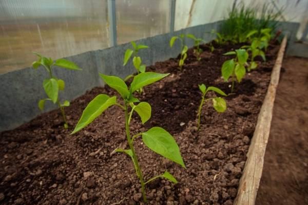 Подкормка перцев в теплице: какие удобрения и когда использовать