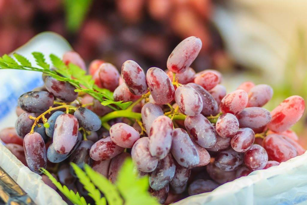 Сорт винограда алиса, описание с характеристикой и отзывами, особенности посадки и выращивания, фото