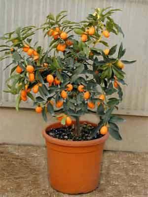 Пересадка мандарина (мандаринового дерева) в домашних условиях пересадка мандарина (мандаринового дерева) в домашних условиях