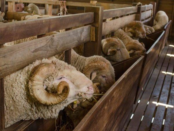 Породы овец: фото, видео, происхождение, характеристика и описание