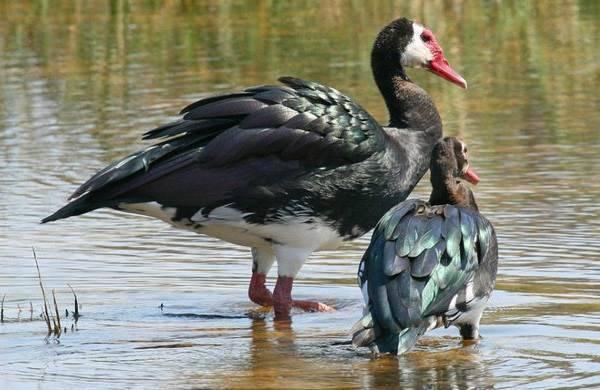 Тулузские гуси: описание породы, нормы содержания | птичник club