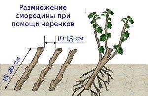 Смородина черная и красная: размножение черенками летом и осенью