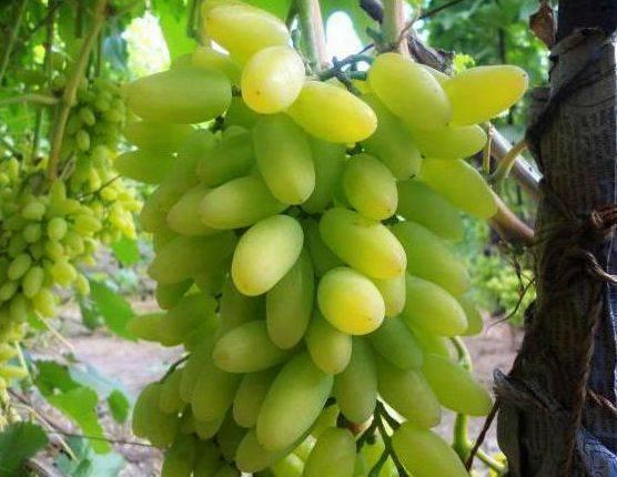 Белый или розовый гибрид от именитых родителей — сорт винограда «тимур»