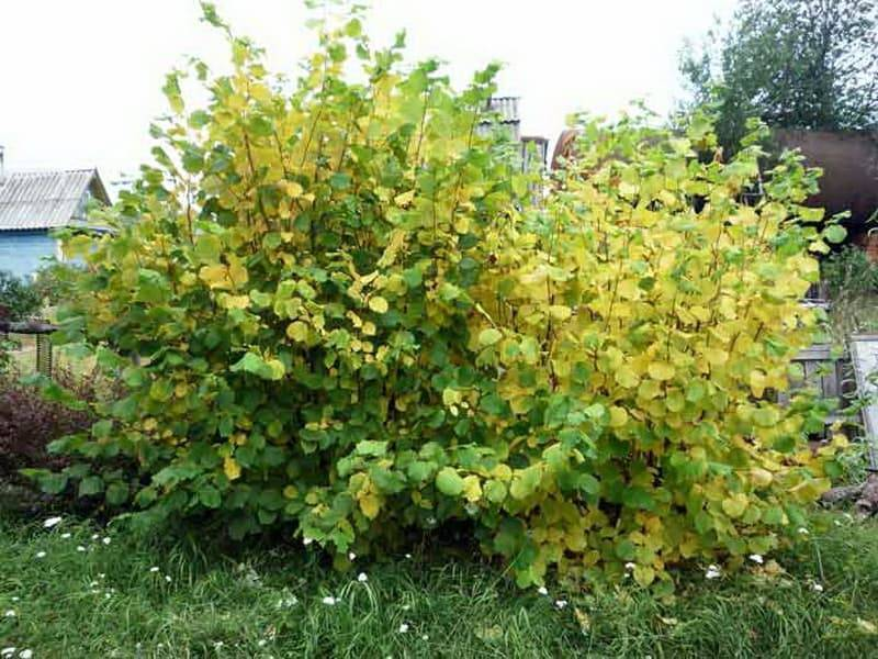Выращивание фундука на дачном участке: нехитрые хитрости ухода за орешником. как вырастить фундук (лещину) на своем участке? - секреты садоводов