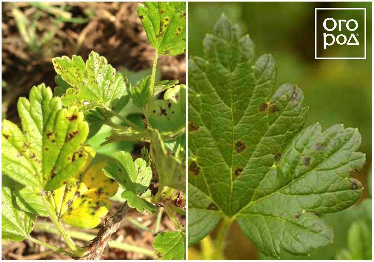 Болезнь антракноз: фото, лечение смородины и винограда, огурцов и малины