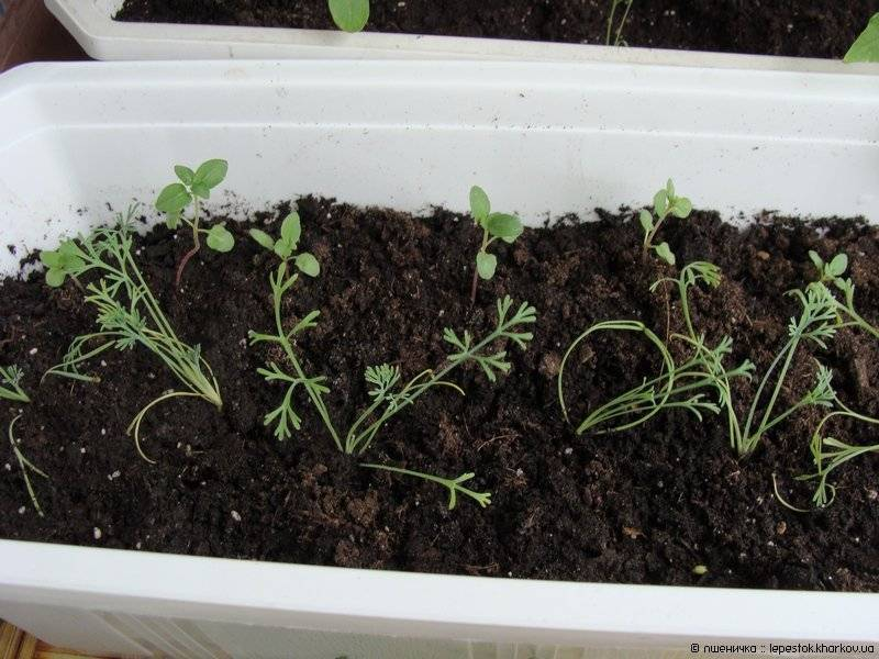 Эшшольция: фото, выращивание, посадка и уход в открытом грунте