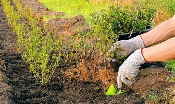 Когда и как правильно посадить смородину осенью саженцем: схемы, сроки, уход