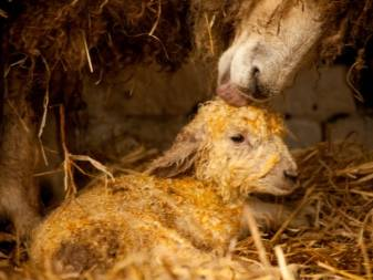 Искусственное вскармливание ягнят сирот или как выкормить новорожденного ягненка без овцы искусственное вскармливание ягнят сирот или как выкормить новорожденного ягненка без овцы