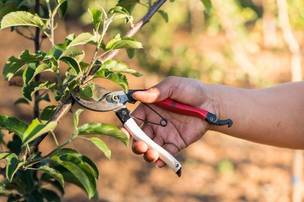 Обрезка колоновидных яблонь осенью: схема, видео для начинающих правильно как обрезать